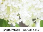 beautiful soft white annabelle... | Shutterstock . vector #1309315519
