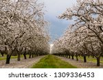 Flowering almond tree grove blossoms in California - stock photo