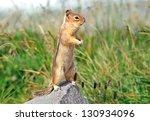 Chipmunk Peering From Rock   ...