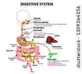 the human digestive system.... | Shutterstock .eps vector #1309364356