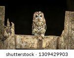 tawny owl  scientific name ... | Shutterstock . vector #1309429903
