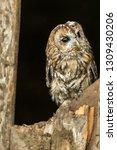 tawny owl  scientific name ... | Shutterstock . vector #1309430206