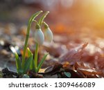 snowdrop or common snowdrop ... | Shutterstock . vector #1309466089