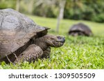 Stock photo animals galapagos giant tortoise walking on santa cruz island in galapagos islands animals 1309505509