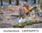 red tailed hawk perched on oak... | Shutterstock . vector #1309569973