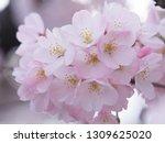pink japanese cherry blossoms | Shutterstock . vector #1309625020