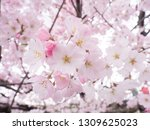 pink japanese cherry blossoms | Shutterstock . vector #1309625023