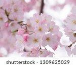 pink japanese cherry blossoms | Shutterstock . vector #1309625029