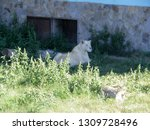 White Lioness Resting In The...
