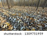 forest landscape in late autumn | Shutterstock . vector #1309751959