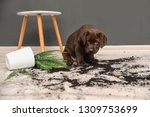 Stock photo chocolate labrador retriever puppy with overturned houseplant at home 1309753699