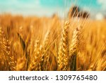 close up of golden ripe wheat... | Shutterstock . vector #1309765480