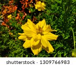 yellow cosmos flower or cosmos... | Shutterstock . vector #1309766983