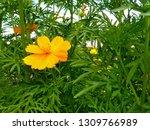 yellow cosmos flower or cosmos... | Shutterstock . vector #1309766989