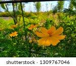 yellow cosmos flower or cosmos... | Shutterstock . vector #1309767046