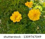 yellow cosmos flower or cosmos... | Shutterstock . vector #1309767049