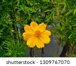 yellow cosmos flower or cosmos... | Shutterstock . vector #1309767070