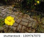 yellow cosmos flower or cosmos... | Shutterstock . vector #1309767073