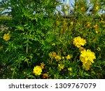 yellow cosmos flower or cosmos... | Shutterstock . vector #1309767079