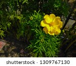 yellow cosmos flower or cosmos... | Shutterstock . vector #1309767130