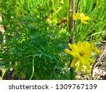 yellow cosmos flower or cosmos... | Shutterstock . vector #1309767139
