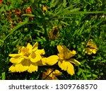 yellow cosmos flower or cosmos... | Shutterstock . vector #1309768570