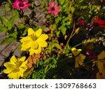 yellow cosmos flower or cosmos... | Shutterstock . vector #1309768663