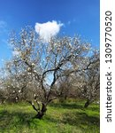 blooming almond trees with cloud | Shutterstock . vector #1309770520