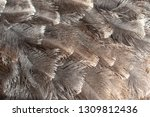 ostrich feathers as an abstract ... | Shutterstock . vector #1309812436