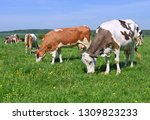 cows  on a summer pasture   Shutterstock . vector #1309823233