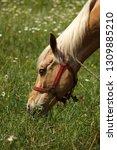 beautiful young bay stallion... | Shutterstock . vector #1309885210