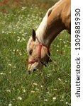 beautiful young bay stallion... | Shutterstock . vector #1309885930