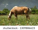 beautiful young bay stallion... | Shutterstock . vector #1309886623