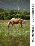 beautiful young bay stallion... | Shutterstock . vector #1309888669