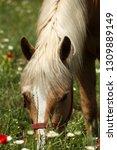beautiful young bay stallion... | Shutterstock . vector #1309889149