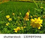 yellow cosmos flower or cosmos... | Shutterstock . vector #1309895446