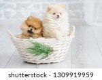 adorable high bred spitz dog... | Shutterstock . vector #1309919959