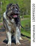 caucasian shepherd dog in summer | Shutterstock . vector #1309950220