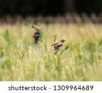 sparrow eats worms and guards... | Shutterstock . vector #1309964689