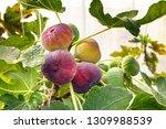 Fresh Figs Fruit  Hanging On...