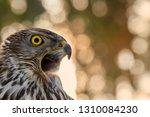 portrait of bird of prey....   Shutterstock . vector #1310084230