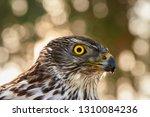 portrait of northern goshawk ...   Shutterstock . vector #1310084236