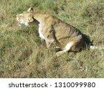 Threatening Roar Of A Lioness