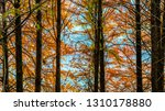 deciduous cypress at winter | Shutterstock . vector #1310178880