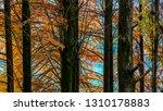 deciduous cypress at winter | Shutterstock . vector #1310178883