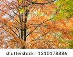 deciduous cypress at winter | Shutterstock . vector #1310178886