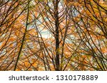 deciduous cypress at winter | Shutterstock . vector #1310178889
