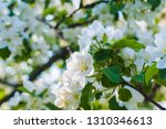 branch of flowering apple tree... | Shutterstock . vector #1310346613