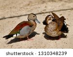 Portrait Of Pair Ringed Teal...