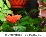 Red Hibiscus In Blossom Over...